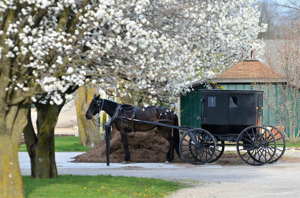 horse and buggy near tree with white flowers